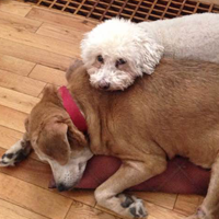 A dog sleeping on the floor with a smaller dog standing behind him and resting his head on the sleeping dog