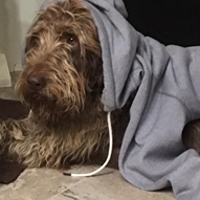A dog with a sweatshirt laid on top of him and his head in the hood of the sweatshirt