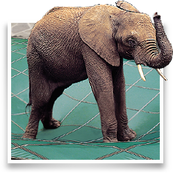 Elephant standing on a covered pool